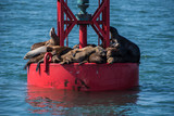 Sea lions squeezed into full capacity on the dry surface of the floating offshore buoy. - 217972248