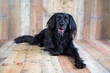 Black lab mix on wood background posing for picture and looking at the camera
