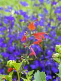 Salvia coccinea. Lady in red. Sauge du Texas rouge ou sauge tropicale rouge écarlate. - 218006030