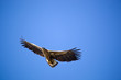 White-tailed eagle against the blue sky. Wild nature of Russia. Astrakhan Region. Russia