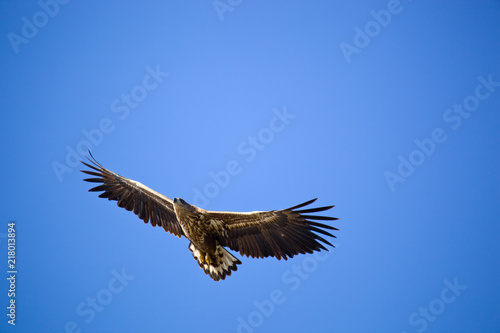 Foto Spatwand Eagle White-tailed eagle against the blue sky. Wild nature of Russia. Astrakhan Region. Russia