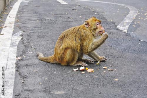 Foto Spatwand Aap Wild Monkey Sitting on the Road Eating Boiled Eggs