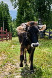 A cow and a calf graze in a meadow. Cows in the mountains. Organic products. Ecology