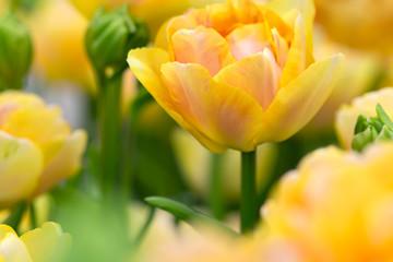 Tulip flower close-up