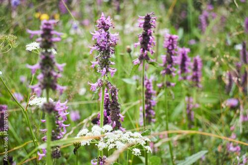 Foto Spatwand Lavendel Mountain flower. Wildflowers. A unique flower. Flowers in the mountains of the Carpathians.