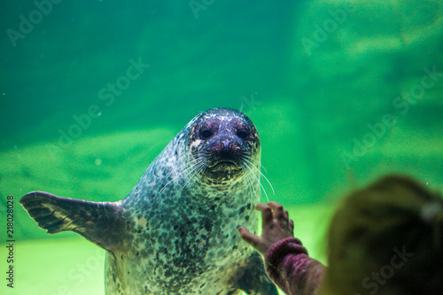 Foto Murales A sea lion waves a child with a paw under the water. Klaipeda. Lithuania. Front view.