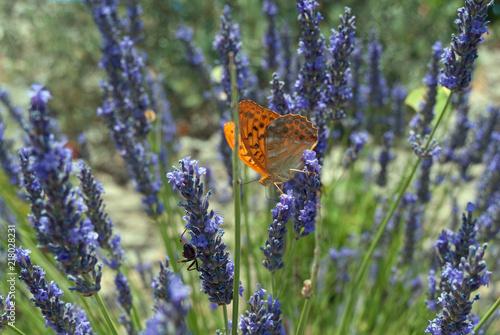 Canvas Vlinder Lavender field , Provence , France