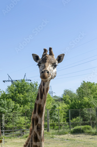 Naklejka  giraffe in the zoo