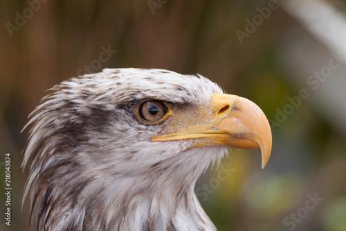 Canvas Eagle tête d'aigle royal