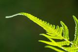 Closeup shot of backlit fern leaf - 218045800