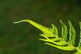 Closeup shot of backlit fern leaf - 218045827