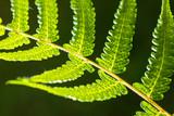 Closeup shot of backlit fern leaf - 218045885