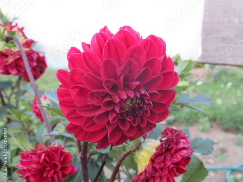 Beautiful red dahlias growing in a garden