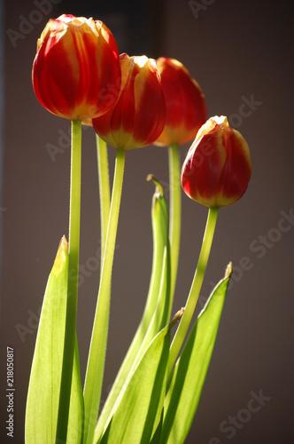 Morning Tulips