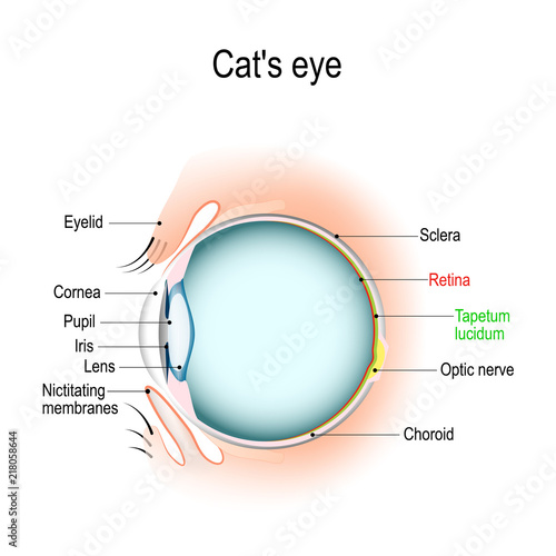 Anatomy Of The Cats Or Dogs Eye Buy Photos Ap Images Detailview