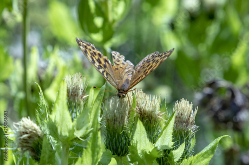 Foto Spatwand Vlinder butterfly at the bud of a nettle plant