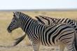 Steppenzebra (Equus quagga) im Etosha Nationalpark (Namibia)
