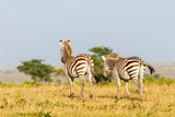 African savannah landscape with two Zebras