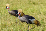 Colorful pair of Grey Crowned Crane on the African savannah