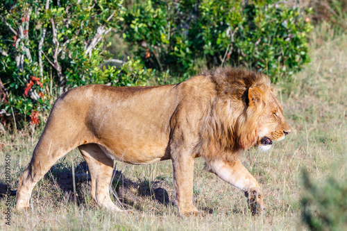 Canvas Lion Large male lion walking on the grass on the African savannah