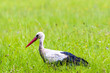 Big white stork walks on a green meadow with fresh grass and flowers