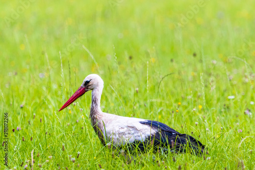Foto Murales Big white stork walks on a green meadow with fresh grass and flowers