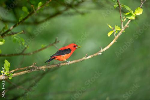 Foto Murales scarlet tanager