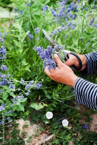 Harvesting lavender by hand.