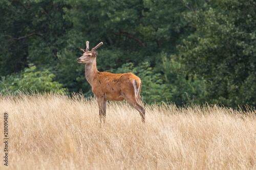 Poster Damwild Hirsch Deer