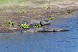 Large American alligators resting on the Myakka River bank