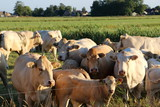 Cows in the meadow blonde d'aquitaine