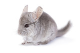 Cute chinchilla isolated on white