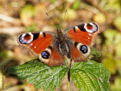 Canvas Vlinder Peacock Butterfly