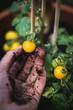 Tomatenpflanze ernten