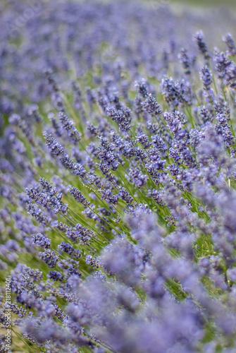 Foto Spatwand Lavendel Lavender flowers