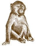 engraving illustration of baboon cub