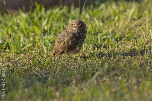 Foto Murales Pretty owl in the field (Athene cunicularia).
