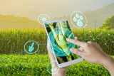 Hand using mobile phone inspecting young green corn field in agriculture garden and light shines sunset with concept modern technologies. - 218143080
