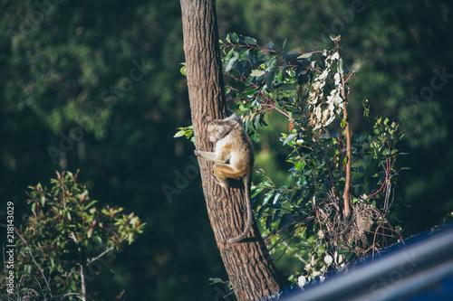 Foto Spatwand Aap Singe sur un arbre dans la nature au Sri Lanka