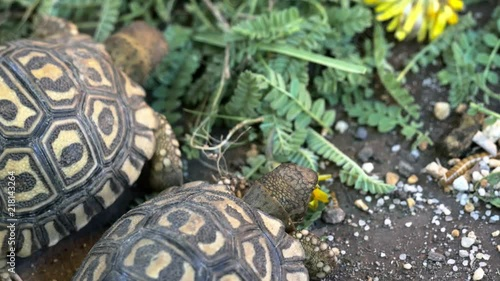 Two juvenile Leopard tortoises (Stigmochelys pardalis) grazing on fallen leaves and flowers showing of their stunning shell patterns.