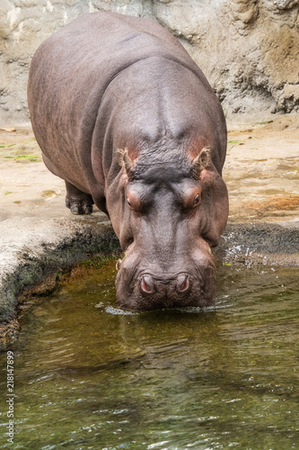 Poster 水を飲むカバ
