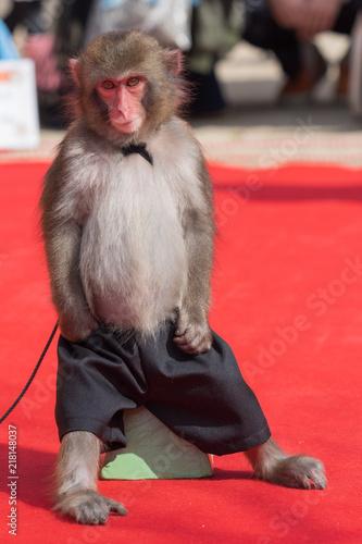 Foto Spatwand Aap 椅子に座る猿回しの猿