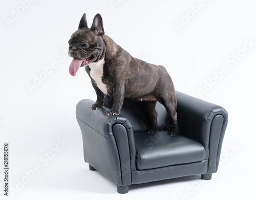 Canvas Franse bulldog French Bulldog on chair ,portrait