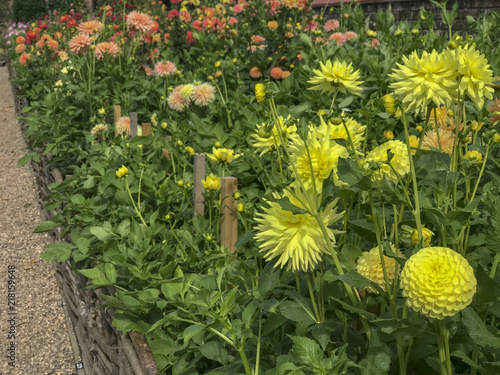 Foto Murales dahlias in back yard of country garden
