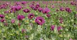 Field of opium poppy, Papaver somniferum