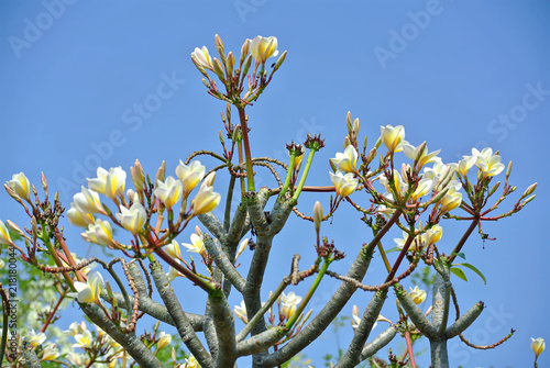Plexiglas Plumeria Yellow White Plumeria Flowers Against Clear Blue Sky