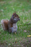 A squirrel standing on the grass and eating - 218188623