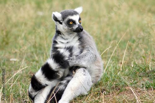 Foto Spatwand Aap Lemuren Affen in Gefangenschaft im Zoo