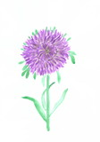Drawing with watercolors: flowers asters.