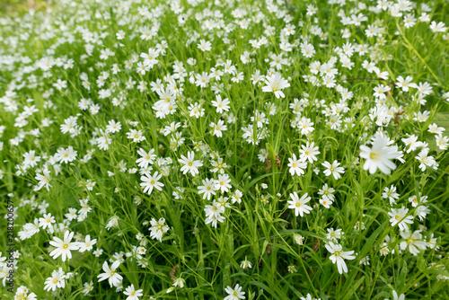 Stellaria dichotoma small white flowers on grass buy photos ap stellaria dichotoma small white flowers on grass mightylinksfo